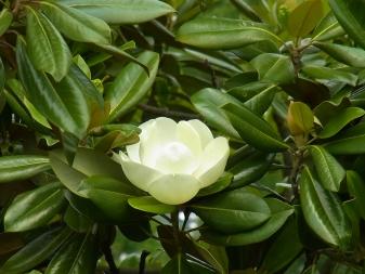 きれぎれの風採 20110605「タイサンボク」01