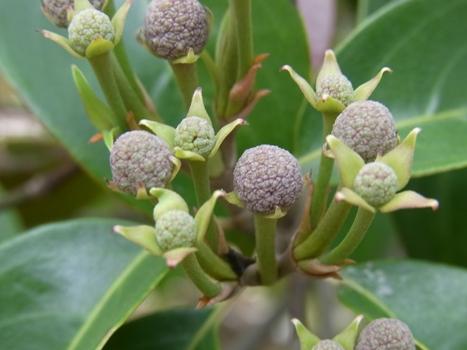 「常緑ヤマボウシ ~球体からの…花序と総苞片」