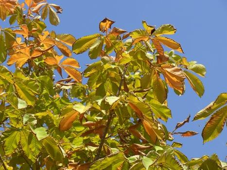 きれぎれの風彩 トチノキの黄葉