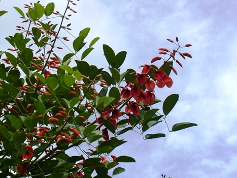 「アメリカデイゴ ~南国風の豆似の紅い花」
