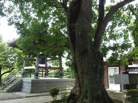 「ムクロジ ~龍山院ムクロジの巨木」