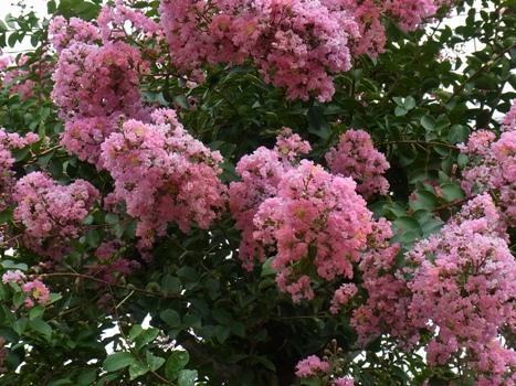 「サルスベリの街路樹と花」