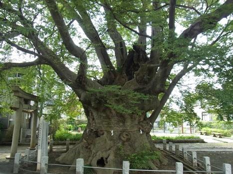 「大久保の大ケヤキ〔巨樹〕」