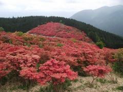葛城山つつじ20110521