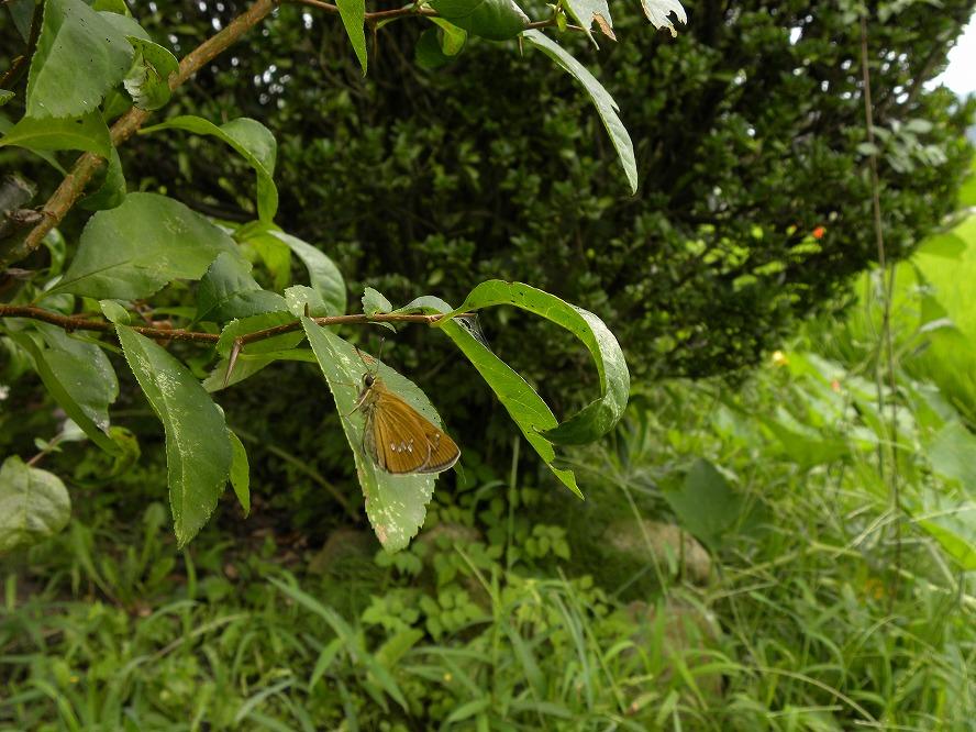 オオチャバネセセリ 2009.08.16 1152 (2)