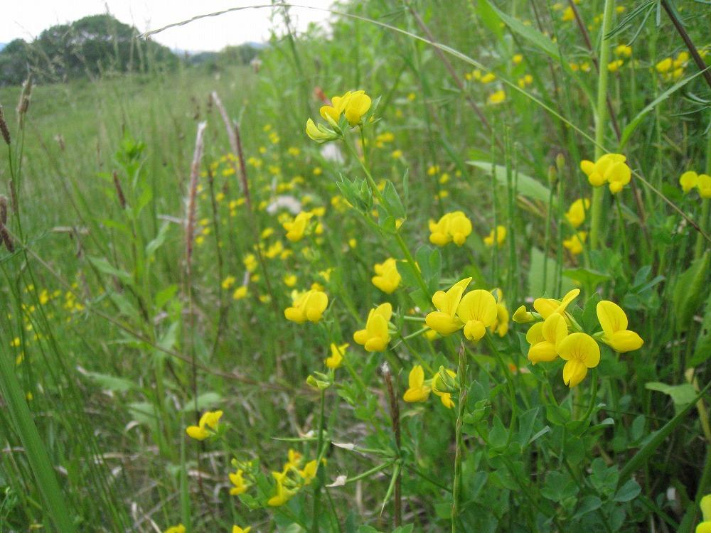ミヤコ草 2011.05.017