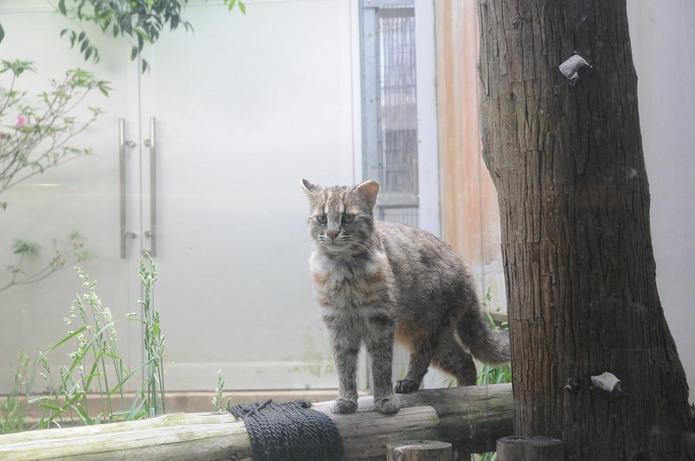 ツシマヤマネコ 2011.05.24
