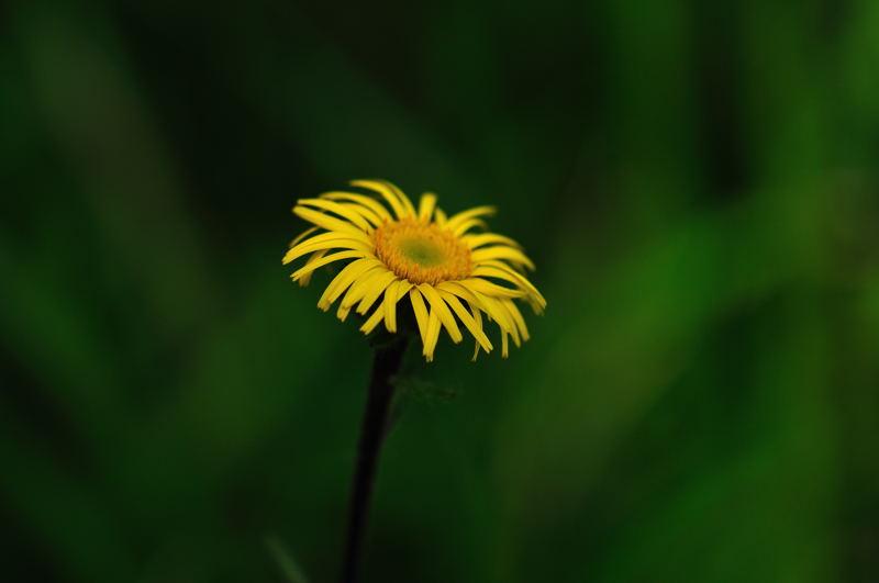 ミズギク(水菊)