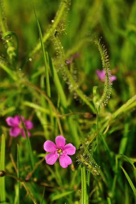 ナガバノイシモチソウ(長葉の石持草)赤花