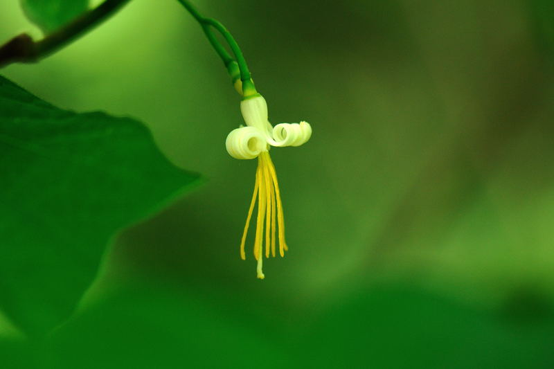 ウリノキ(瓜の木)