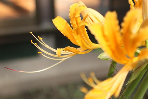 黄色彼岸花2