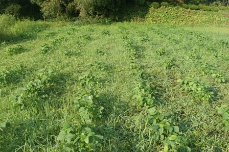 2009.9.1大豆圃場2