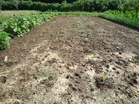 2009.9.13秋の野菜苗