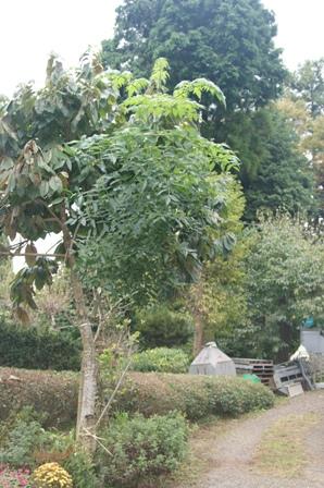2009.10.13皇帝ダリア