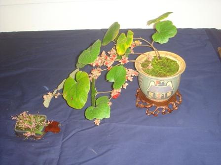2009.9.24秋のイベント小盆栽展その1 013