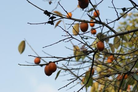 2009.10.31原種柿