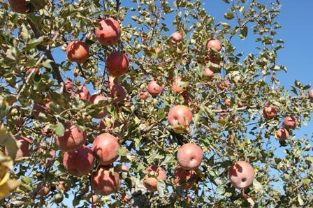 2009.11.15ほくと市のりんご