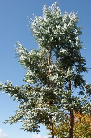 2009.11.15きれいな木