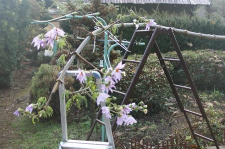 2009.12.1晩秋の庭 (ダリアの花)