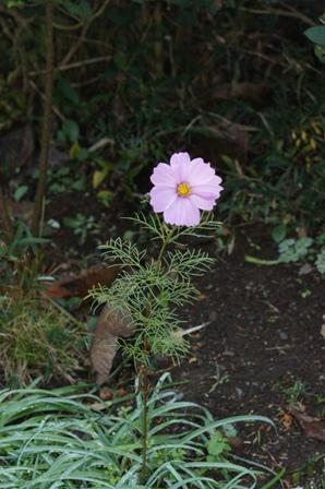2009.12.1晩秋の庭 (コスモス)