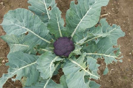 2009.12.12紫カリフラワー
