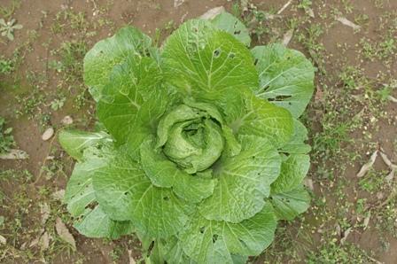 2009.12.12白菜