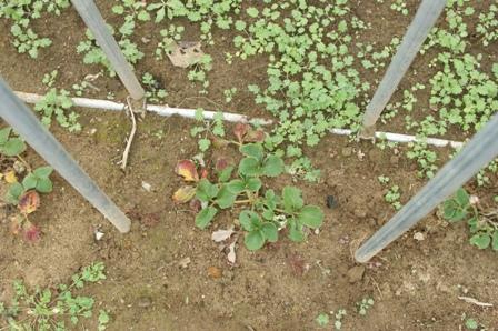 2009.12.13イチゴの苗
