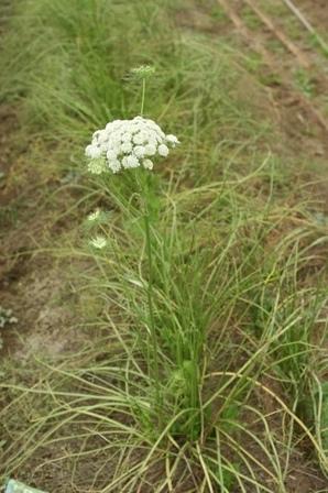 2009.12.13 にんじんの花