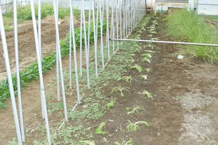 2009.12.13京菜の移植