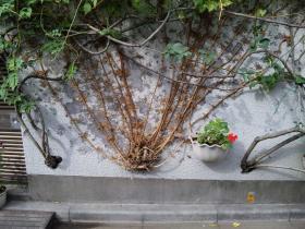 壁突き破った木