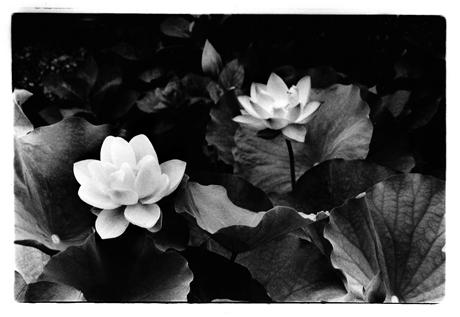 蓮の花1_up