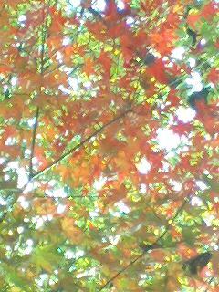 11/16諏訪神社のもみじ1