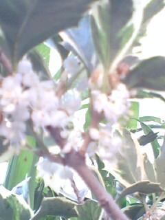 GetAttachmentヒイラギの花