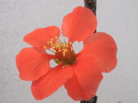 12/21ボケの花