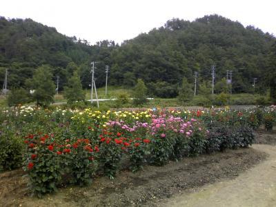 ダリア園1