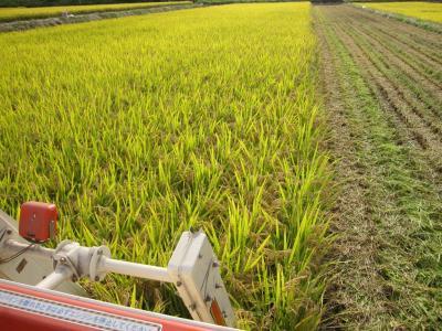 稲刈りの様子  2
