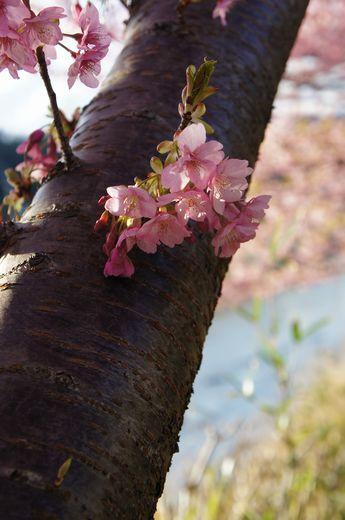 河津桜12