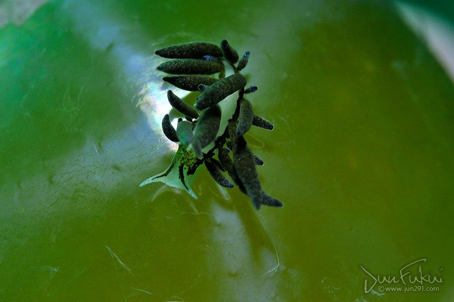 アリモウミウシ属sp.