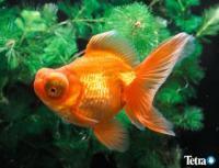 goldfish_zukan08.jpg
