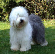 old-english-sheepdogs-01.jpg
