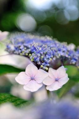 紫陽花の競艶