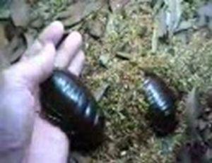 ゴキブリなんてすばしっこくなければ怖くなんかない