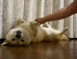 こしょこしょされても動じない柴犬