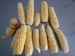 0820 収穫 001