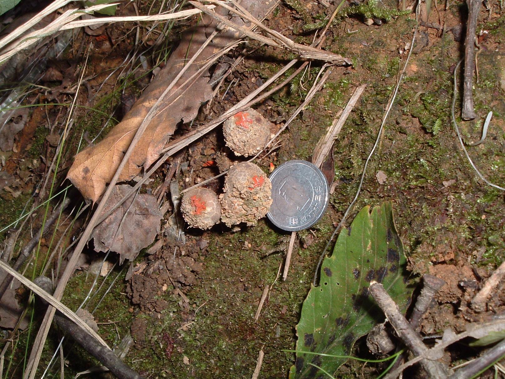 Calostoma japonicum P. Henn. クチベニタケ