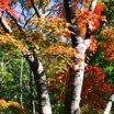 2008森林植物園もみじ