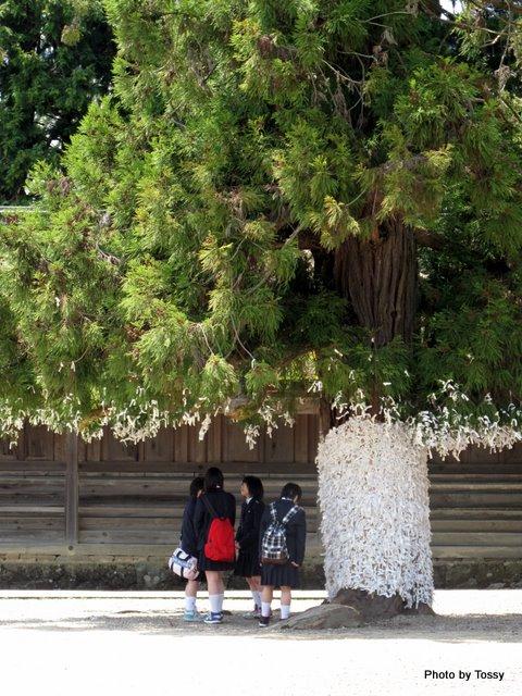 おみくじと大きな木