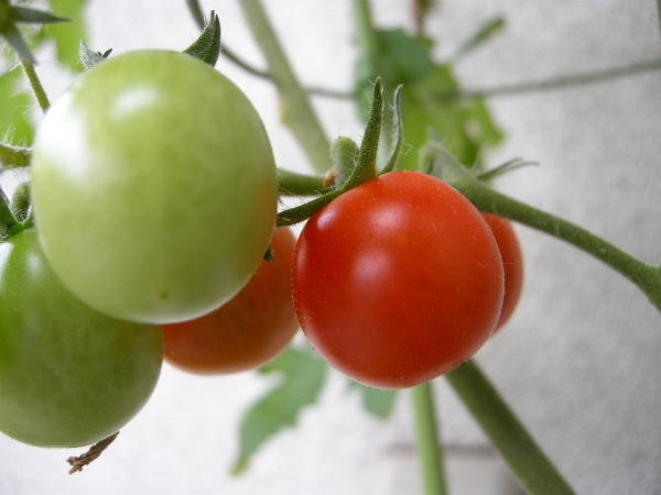 tomato0708.jpg