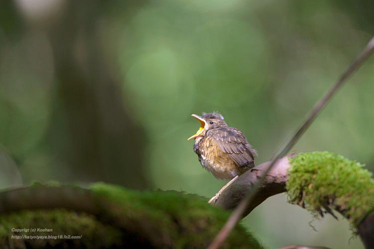 アカハラ幼鳥