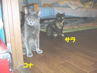 仔猫部屋のサラとコナ